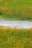 picture of cosmos flowers  - Cosmos flowers and dirt road in the field - JPG