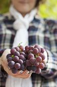 stock photo of moscato  - female hand picking moscato grapes within romanian vineyard - JPG