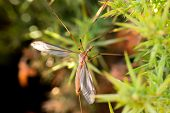 picture of mosquito  - Detail of common giant mosquito resting between the leaves of a plant - JPG