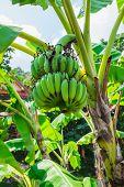 image of banana  - Banana tree with a bunch of bananas - JPG