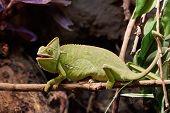 foto of chameleon  - Veiled chameleon resting on a branch in its habitat - JPG