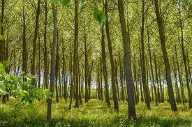 stock photo of buttercup  - Poplar Forest in a field of buttercups in Vend - JPG