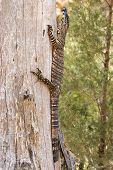 stock photo of goanna  - a lace monitor  - JPG