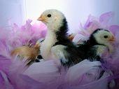 Hühner in rosa Federn