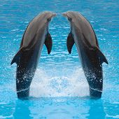 Dolphin Twins