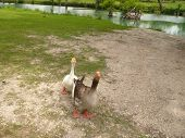 The Geese Are Looking
