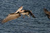 California Pelícano Pardo flys y sobrevuela en el aire