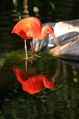 "pic of scarlet ibis  - ""Scarlet Ibis""  ""Eudocimus ruber"" stands at the edge of water with its reflection - JPG"