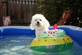 fifi the world famous Bichon Frise enjoys a Hot Summer Afternoon in her float toy boat in her person poster