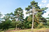 Forest High Pine Trees Nature Landscape. Pine Trees Forest.n Nature Reserve Concept. Weather Changes poster