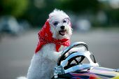 stock photo of blood drive  - a bichon frise dog wears her red bandana as she drives her hot rod pedal car around town - JPG