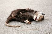 a dead opossum on a sidewalk