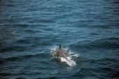 California common dolphin