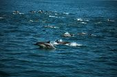 A Large POD of California common dolphin