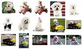 15 views of Fifi the Bichon Frise. All images are 800 pixels each at the long end. The perfect image