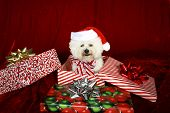 Jolie a pure breed Bichon Frise wears Her Santa Hat, Christmas Bow and sits inside a christmas present box wishing everyone a Very Merry Christmas and Happy Holiday Season, against  Red Velvet