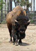 American bison (Bison bison athabascae) at Prague Zoo, Czech Republic