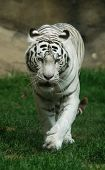 White tiger (Panthera tigris tigris), Indian people think that a meeting with a white tigers brings a good luck