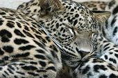 Two sleeping Persian leopards (Panthera pardus saxicolor)