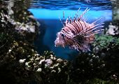 Devil firefish also known as a Devil lionfish (Pterios miles)