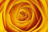 foto of yellow flower  - Macro shot of a yellow rose blossom  - JPG