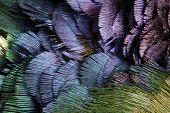 Textura detallada de plumas de faisán de oro