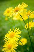 Summer flowers (leopard's bane / Doronicum orientale)