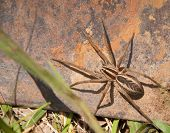 Rabid Wolf Spider on rusty metal
