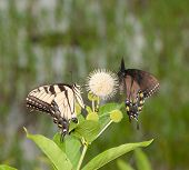 Eastern Tiger Swallowtail butterfly and a black morph of the same species sharing a buttonbush flowe