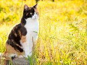 Beautiful calico cat in high grass with bright sunshine