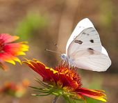 Checkered White Butterfly on an Indian Blanket flower