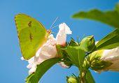 Clouded Sulphur butterfly on Althea flower against blue sky