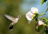 Beautiful Ruby-throated Hummingbird feeding on a light pink Althea flower
