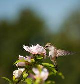 Tiny Hummingbird feeding on a flower