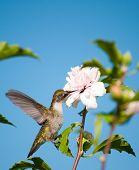 Beautiful little Hummingbird clinging onto a leaf, feeding with her beak deep in an Althea flower