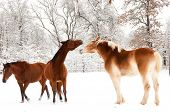 Two horses playing in snow, a small Arabian and a large Belgian Draft horse, with a third horse walk