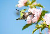 Tiny juvenile Hummingbird feeding on a light pink Althea flower