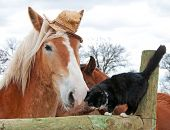 Belgian Draft horse wearing a silly worn out straw hat nuzzling with his tiny black and white kitty