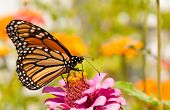 Monarch butterfly, Danaus plexippus, restoring its energy supply for migration by feeding on a bright pink Zinnia flower