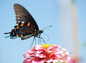 Ventral view of a Pipevine Swallowtail feeding on a pink Zinnia against blue skies