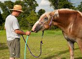 Belgian Draft horse stealing a drink of water from water hose while getting bathed with cool water o