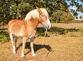 Funny image of a lazy blond Belgian Draft horse carrying a stick fending off anyone who tries to make him work