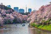Cherry blossoms around Chidorigafuchi park, Tokyo, Japan. poster