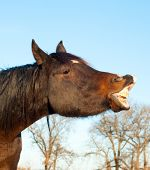 picture of flehmen response  - Comical image of a dark bay horse stretching his lips out in flehmen response - JPG