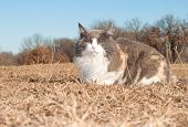 Beautiful diluted calico cat resting on dry winter grass looking at the viewer