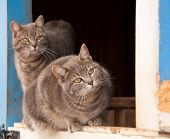 Two blue tabby cats on a half door of a blue barn, watching keenly to the right of the viewer