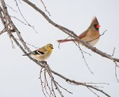 American Goldfinch, Spinus tristis, in its winter plumage, perched on a Persimmon tree, with a femal