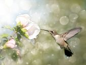 Dreamy image of a Ruby-throated Hummingbird feeding on a light pink Hibiscus flower