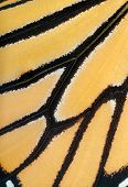 Macro image of a live Monarch butterfly wing
