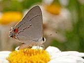 Gray Hairstreak butterfly on a Shasta Daisy flower